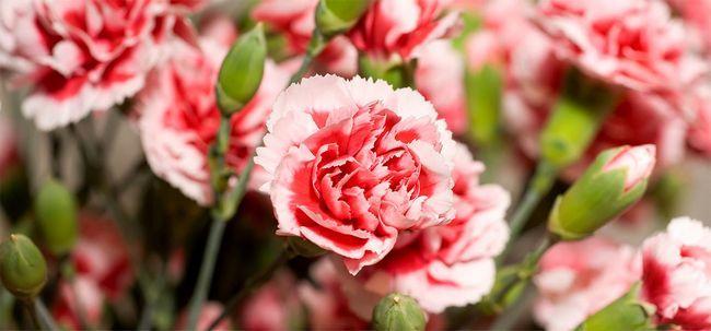 7 plus belles fleurs d 39 oeillet. Black Bedroom Furniture Sets. Home Design Ideas