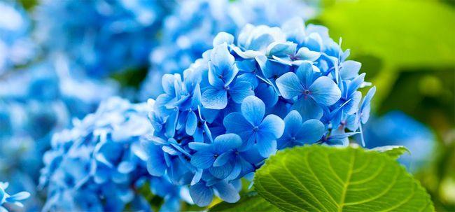 Favorit 25 plus belles fleurs bleues JA72