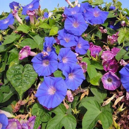 25 plus belles fleurs bleues - Fleur en forme de trompette ...
