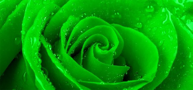 Top 10 des plus belles roses verts Photo