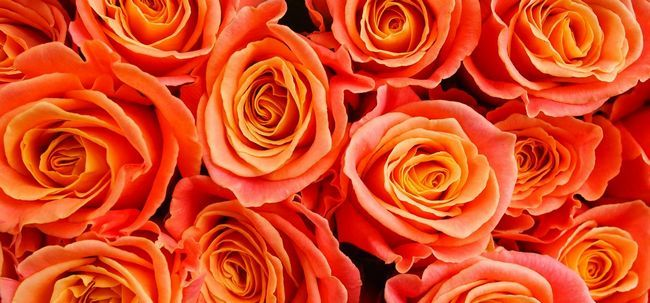 Top 10 des plus belles roses oranges Photo