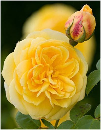English Rose jaune