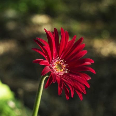 Red Aster