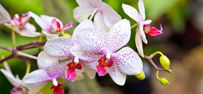 orchidee blanche nom scientifique