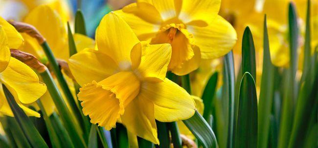 Top 25 Plus Belles Fleurs De Jonquilles