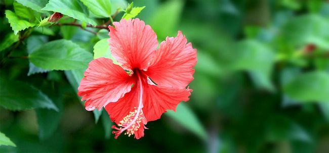 top 25 plus belles fleurs d 39 hibiscus. Black Bedroom Furniture Sets. Home Design Ideas