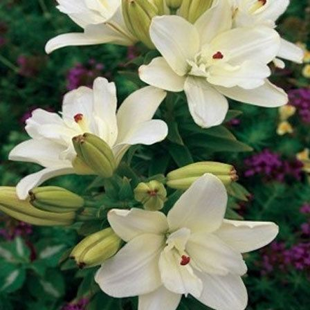 Anne Marie's dream double asiatic lily