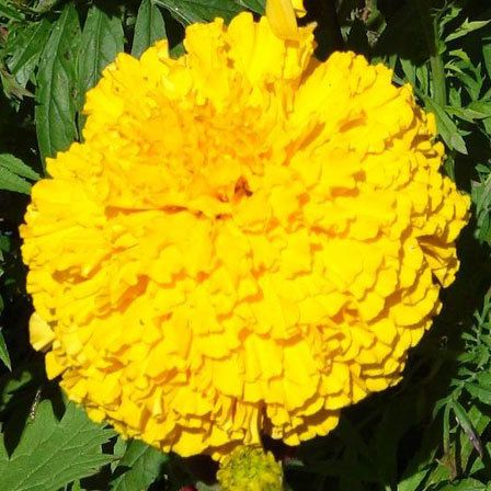 parc's whopper yellow marigold