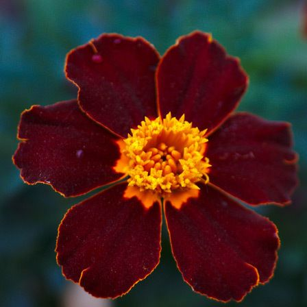 Tagetes patula rouge safari