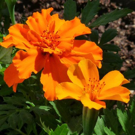 Marigold mr.majestic doubles