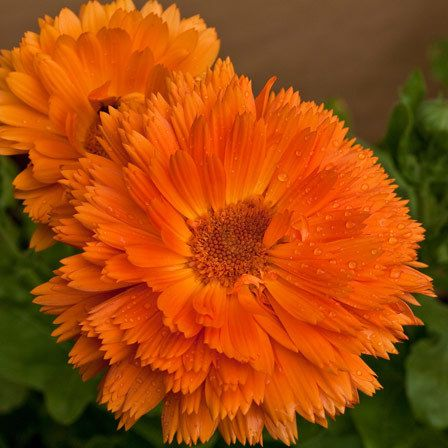 calendula officinalis bon bon d'orange