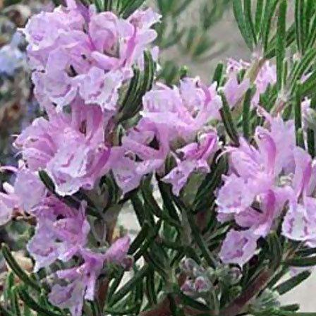 top 25 plus belles fleurs de romarin